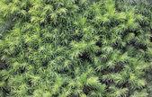 Conifer bakgrund — Stockfoto