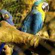 Blue and Yellow Macaw — Stock Photo