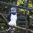 Ornate Hawk Eagle — Stock Photo
