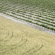 Vineyards and wheat field — Stock Photo