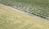 Wijngaarden en tarweveld — Stockfoto