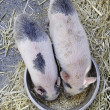 Piglets  eating — Stock Photo
