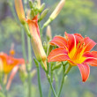 Flower Daylily — Stock Photo #11430805