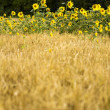 Sunflower in barley — Stock Photo