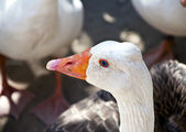 Goose closeup — Zdjęcie stockowe