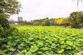 Lotus leaves — Stock Photo