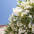 Oleander on Samos — Stockfoto