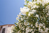 Oleander on Samos — Stock Photo