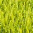 Barley Field — Stock Photo #11486918