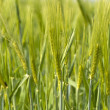 Barley Field — Stock Photo #11486930
