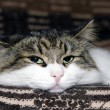 Portrait of a Siberian cat - Foto Stock