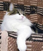 Portrait of a Siberian cat — Stock Photo