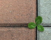 Clover on the stone pavement — Stock Photo