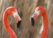 Flamingos pair — Stock Photo