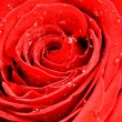 Single red rose detail — Stock Photo