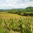 Corn Fields - Mindanao, Philippines - Stock Photo