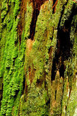 Green Moss on Rotting Bark — Stock Photo