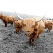 Scottish Highlander Cows — Stock Photo #11087106