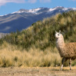 Andean Llama(s) - Stock Photo
