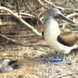 Stock Photo: Blue Footed Booby - Parent and Chick