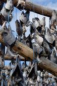 "Fish Head Drying Racks - ""Westman Islands"", Vestmannaeyjar, Icel — Stock Photo"