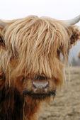 Scottish Highlander Cows — Stock Photo