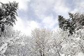Arbres couverts de neige — Photo