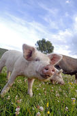 Close up of a pink pig — Stock Photo