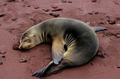 Galapagos Sea Lion — Stock Photo