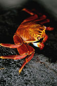 Sally Lightfoot Crab — Stock Photo