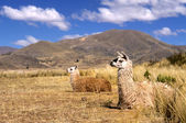 Andean Llama(s) — Stock Photo