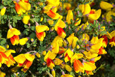 Red and yellow blooming broom — Stock Photo