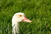 Duck head poking out of grass — Stock Photo