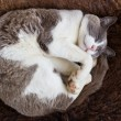 Cute Cat sleeping on wool — Stok Fotoğraf #11079106