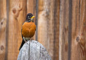 Orange Robin Bird Perched on Wood post — Stock Photo