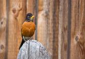 Orange Robin Bird Perched on Wood post — Stock Photo