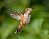 Hummingbird in flight — Stock Photo