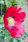 Flor de amapola, rosa y púrpura — Foto de Stock