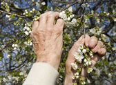 Hands of old woman and cherry tree flowers - spring — Stock Photo