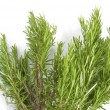Fresh rosemary on white background — Stock Photo
