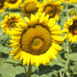 Sunflower crocheted — Stock Photo
