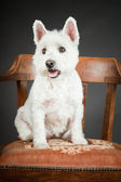 White Westhighland westie terrier on chair isolated on black background — Stock Photo