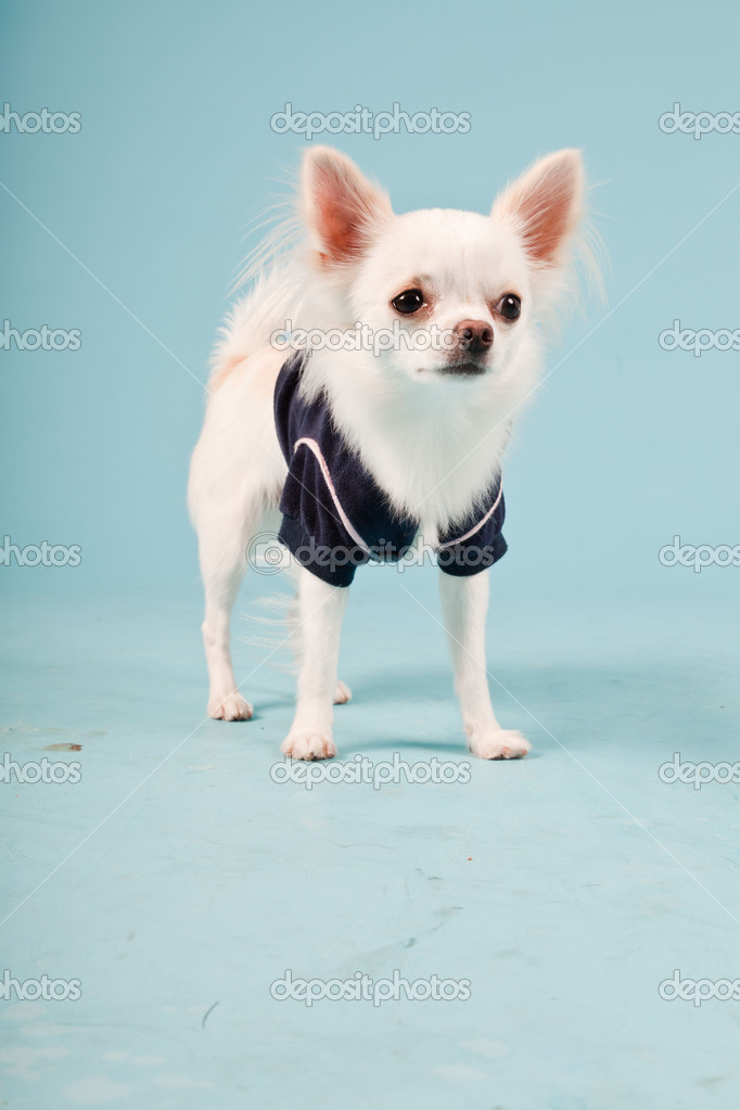 Cute white chihuahua puppy wearing black jacket isolated on light blue