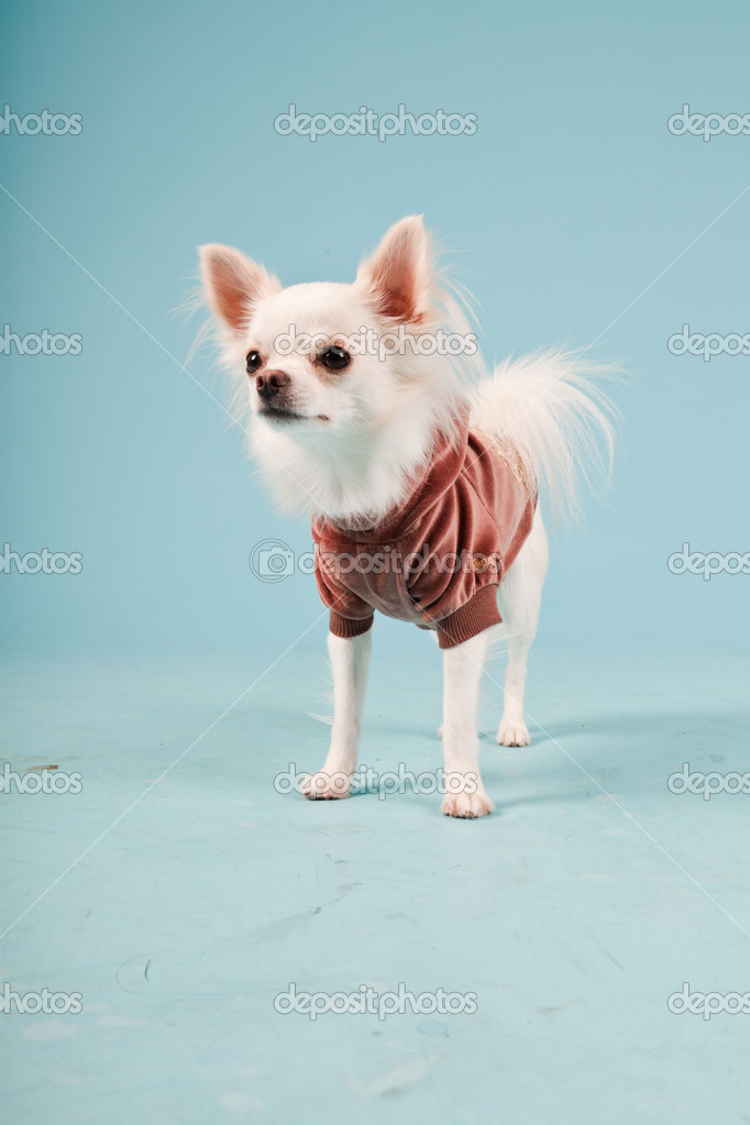Studio portrait of cute white chihuahua puppy wearing red jacket isolated on light blue background — Stock Photo #11204276
