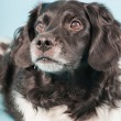 Studio portrait of Stabyhoun or Frisian Pointing Dog isolated on light blue background — Stock Photo