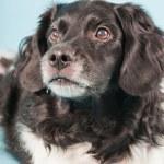 Studio portrait of Stabyhoun or Frisian Pointing Dog isolated on light blue background — Stock Photo
