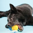 Black german shepard dog with yellow toy ball isolated on light blue background. Studio shot. — Stock Photo