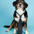 Entlebucher Mountain Dog wearing hat and tie isolated on light blue background. Studio shot. — Stock Photo #11220413