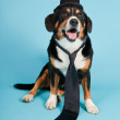 Entlebucher Mountain Dog wearing hat and tie isolated on light blue background. Studio shot. — Stock Photo #11220549