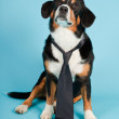 Entlebucher Mountain Dog wearing hat and tie isolated on light blue background. Studio shot. — Stock Photo #11220628